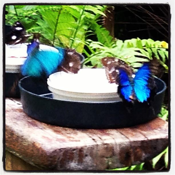 Ulysses butterflies